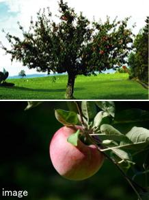 腐らないリンゴの木