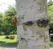 シラカバ樹液